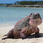 Allan Cay Iguana