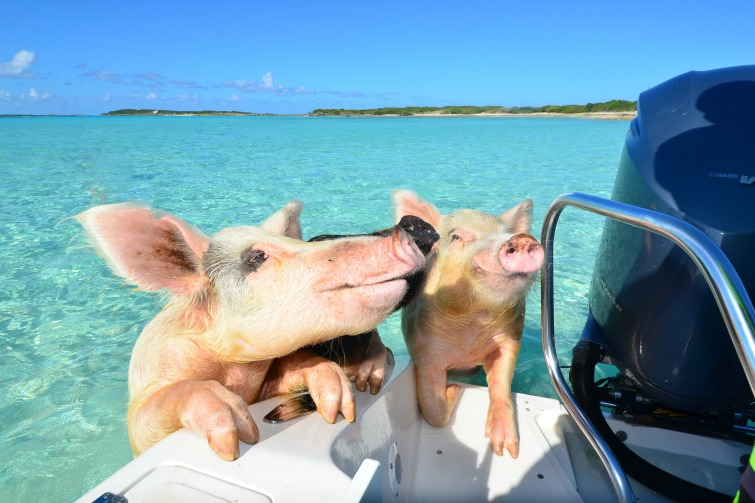 Getting to Swimming Pigs