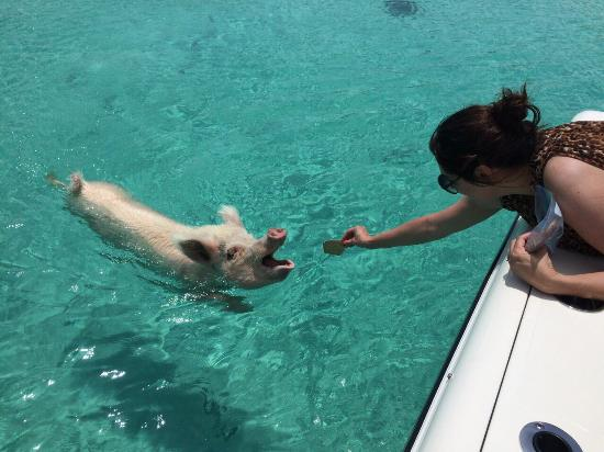 Food Swimming Pigs Exuma